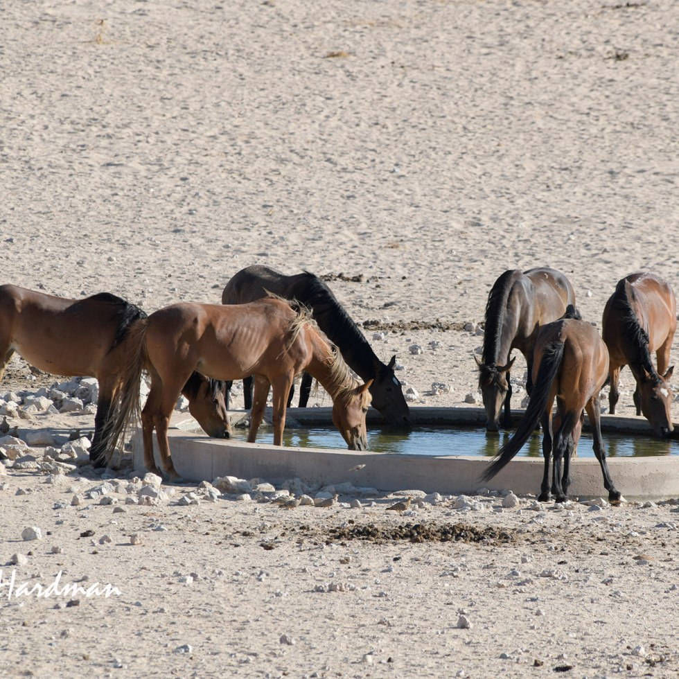 Wild Namibs drinking at the water hole on the Garub plains