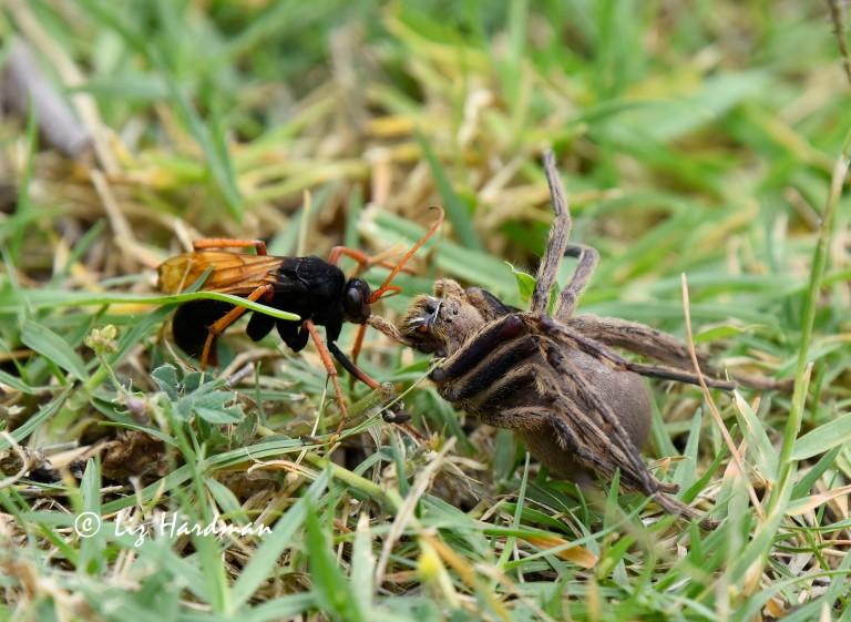 Tarantula-hawk wasp versus tarantula spider.