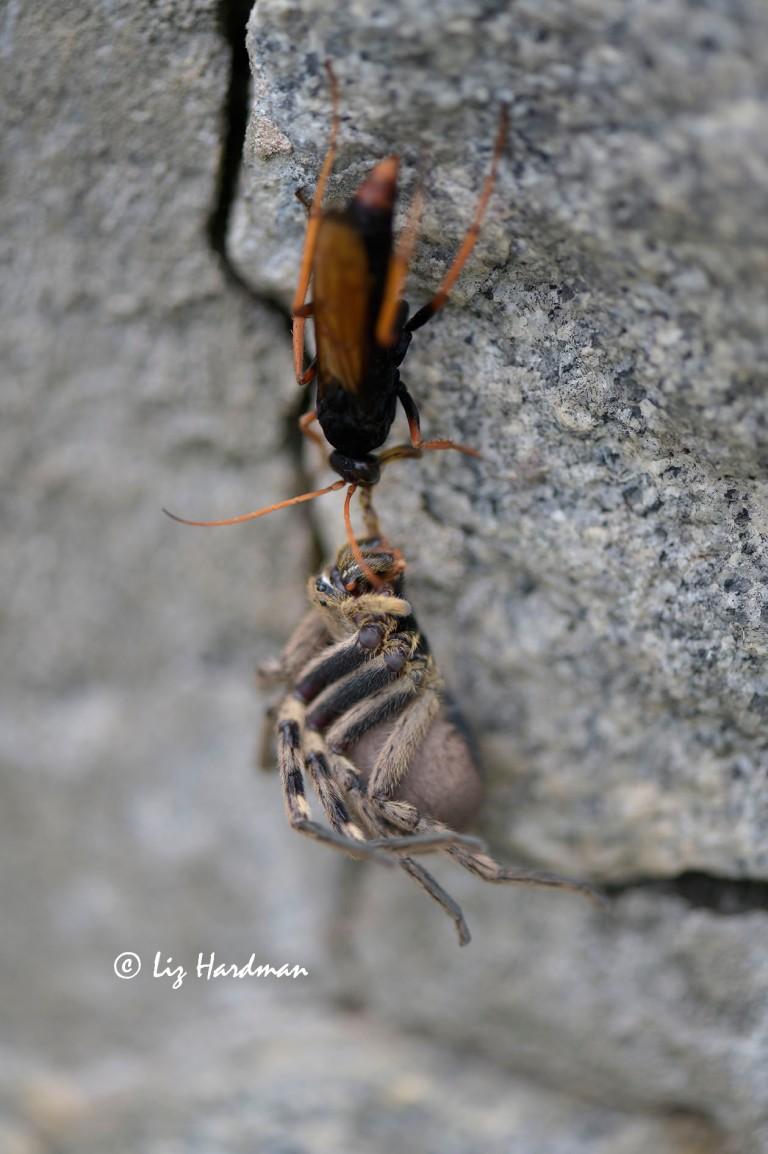 Tarantula-hawk wasp hauls prey