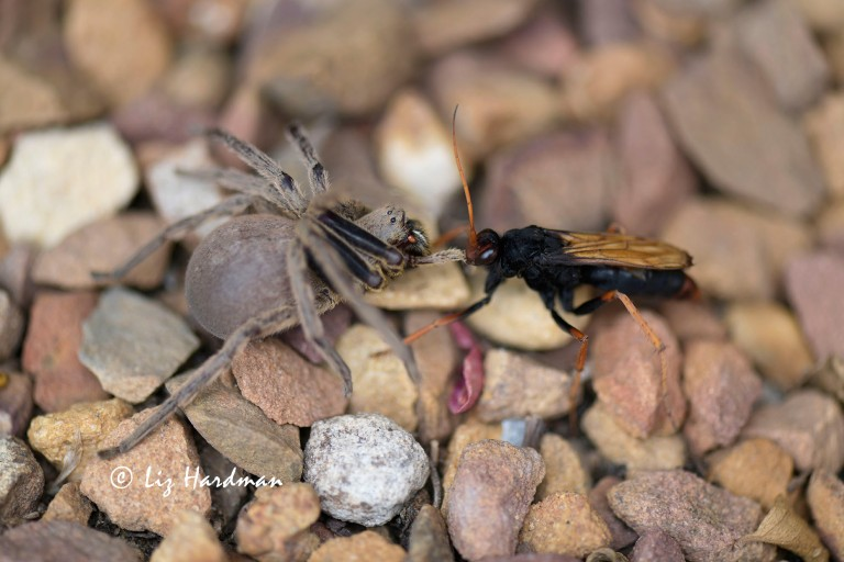 Tarantula-hawk wasp preys on spider