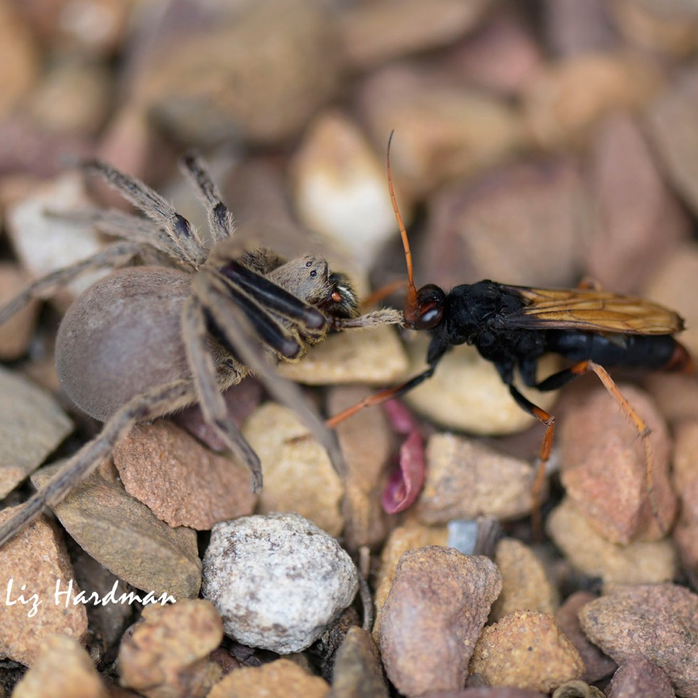 Tarantula-hawk wasp preys on spider