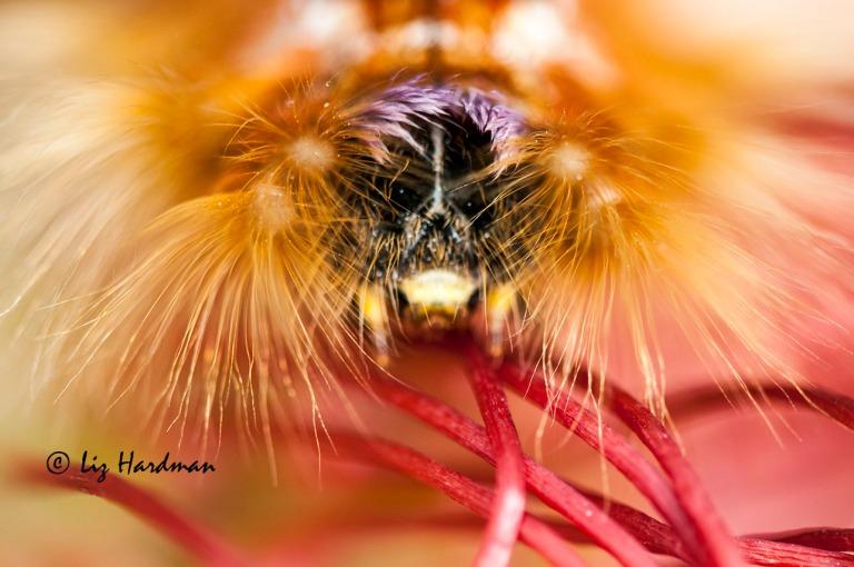 Cape Lappet Moth Larva (Eutricha capensis)