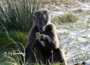 Chacma baboon contemplating restios
