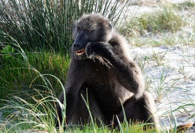 Chacma baboon beach foraging