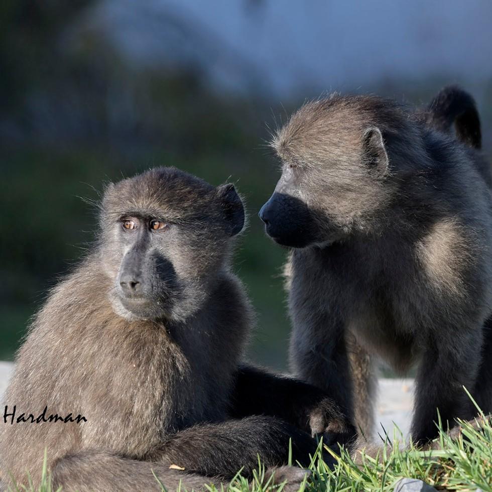Chacma baboon juveniles