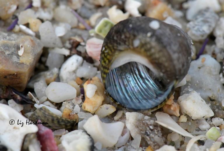 Top Shell - Diloma variegata