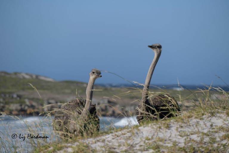 Common ostrich - Stuthio camelus