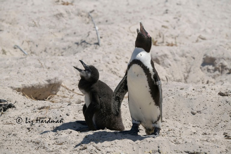 African penguin (Spheniscus demersus) and chick suffering heat stress