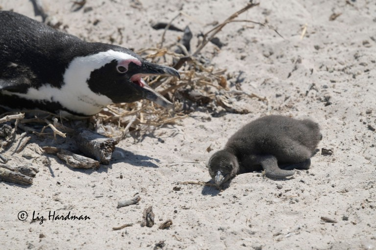 African penguin (Spheniscus demersus)  attacking baby chick.