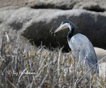 Grey heron ( Ardea cinerea) stalks for a meal and plucks out a snake.