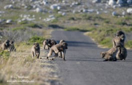 Chacma baboons at play_01