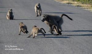 Baboons at play