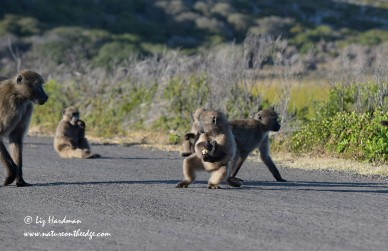 Chacma baboons - The Game -02