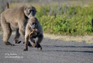 Chacma baboons at play_03