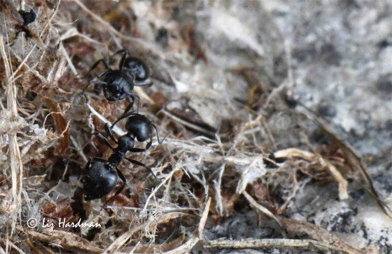 Crematogaster ants