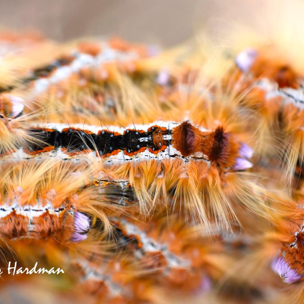 Cape Lappet Moth Aggregation