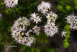 A sweetly spice-scented shrub. Grows on slopes and flats on granite or coastal sands, approximately 140 species.Important in tradional medicines and use in the fragrance industry.
