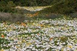 Carpets of daisies bloom in fields, Postberg West Coast National Park.