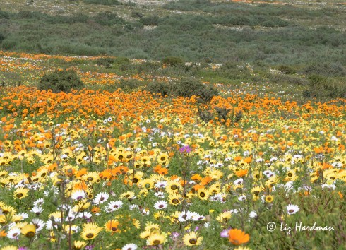 Glorious swathes of colourful flowers carpet the fields.