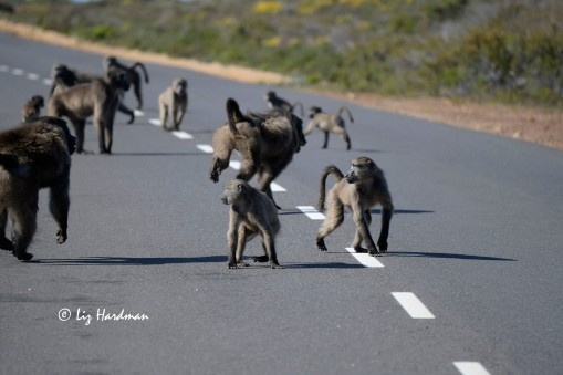The chase between alpha ranked baboons, the present and the previous.