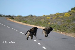 Baboons fight for dominance and hierachy status.