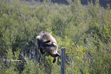 Male baboon rushes over fence after adversary